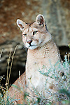 A Puma looks out from its hillside perch in Patagonia, Chile.