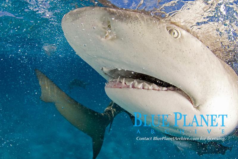 Lemon shark, Negaprion brevirostris, close up of snout, teeth and eye, with ampullae of Lorenzini (electrosensory pores) visible; remora, Bahamas, Caribbean Sea, Atlantic Ocean