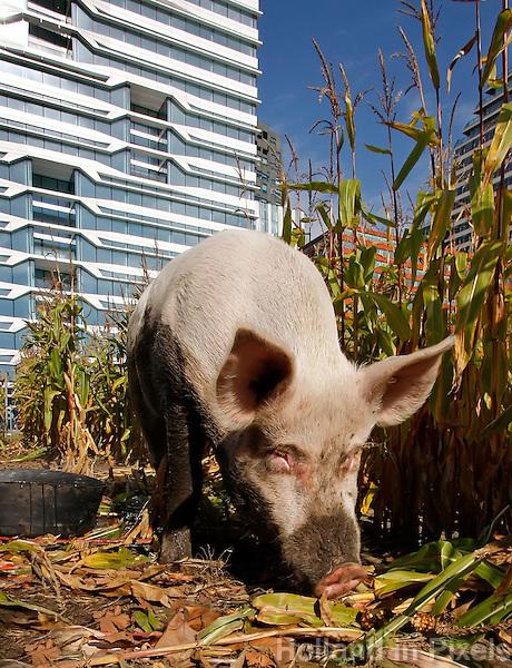 Tijdens Dierendag lopen er varkens bij de kantoren van de Zuidas in Amsterdam