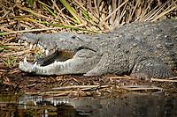 American Crocodile takes in the Everglades sun  along the Tamiami Trail, U.S. 41,  Feb. 9, 2011 Photo by Debi Pittman Wilkey