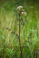Cicuta maculata, Spotted Water-hemlock poisonous wildflower Tallgrass Prairie Preserve, Oklahoma