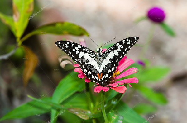 The Common Lime Butterfly (Papilio demoleus) has many common names, including the Chequered Swallowtail, Citrus Swallowtail, Dingy Swallowtail, Lemon Butterfly, Lime Butterfly, Lime Swallowtail, Small Citrus Butterfly and Mariposa del Muerte. (Cambodia)