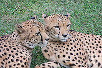 Cheetahs, Fort Worth Zoo