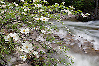 Pacific Dogwood Branch and the Merced River, Yosemite National Park.
