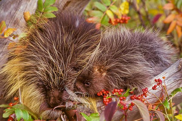 Porcupine mom with young (Erethizon dorsatum) feeding on mountain ash.  Montana.  Fall.