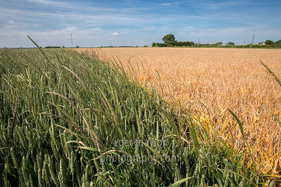 Areas of black grass sprayed off in a field of wheat in ear - Lincolnhire, June