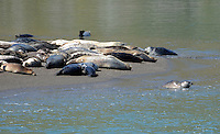 Seal pup ventures into the sea whilst adults bask on a sandbank. Taken Russian River Estuary, near Jenner, Sonoma County, California, USA. 201302292102<br /> <br /> Copyright Image from Victor Patterson, 54 Dorchester Park, Belfast, UK, BT9 6RJ<br /> <br /> Tel: +44 28 9066 1296<br /> Mob: +44 7802 353836<br /> Voicemail +44 20 8816 7153<br /> Skype: victorpattersonbelfast<br /> Email: victorpatterson@me.com<br /> Email: victorpatterson@ireland.com (back-up)<br /> <br /> IMPORTANT: If you wish to use this image or any other of my images please go to www.victorpatterson.com and click on the Terms &amp; Conditions. Then contact me by email or phone with the reference number(s) of the image(s) concerned.