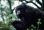 Female mountain gorilla and ferns in Rwanda, Virungas