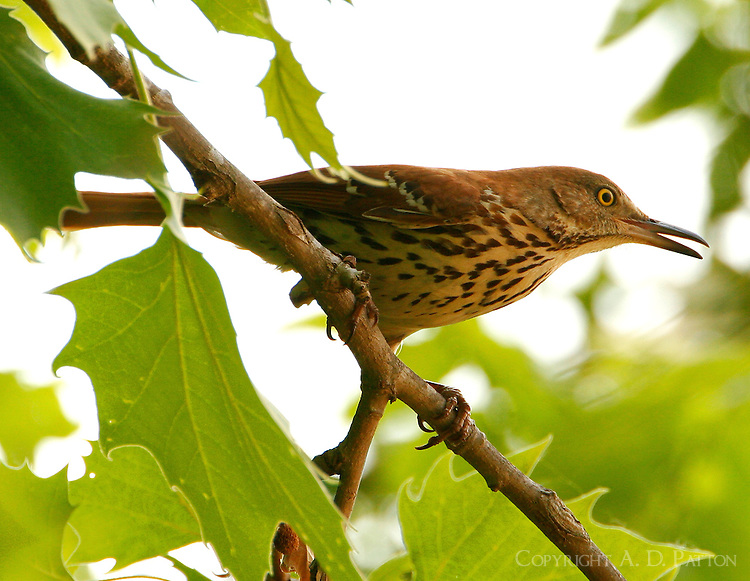 Adult brown thrasher near nest