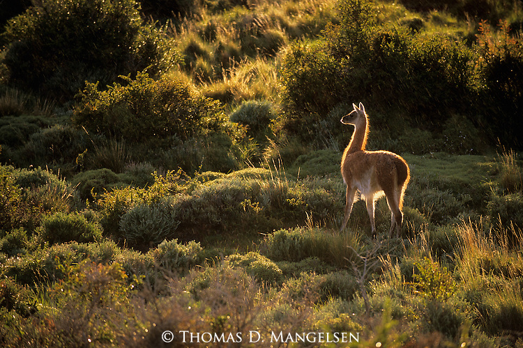 A guanaco walks through brush in Torres Del Paine National Park, Chile.