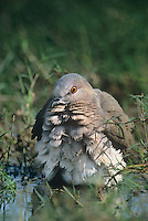 518230020 a wild adult white-tipped dove leptotila verreauxi bathes in a shallow pond in the rio grande valley of south texas
