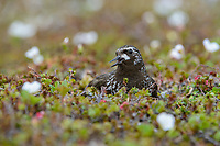 Black Turnstone (Arenaria melanocephala) giving alarm calls on the nest. Yukon Delta National Wildlife Refuge, Alaska. July.
