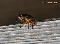 0511-1001  Soldier Beetle, Two-lined Leather-wing, Atalantycha bilineata  © David Kuhn/Dwight Kuhn Photography.