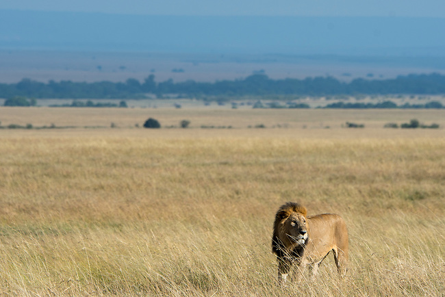 A male lion (Panthera leo) is walking through the high grass in the grassland of the Masai Mara National Reserve in Kenya.
