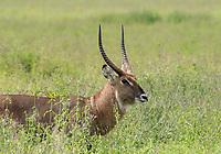 Male Defassa Waterbuck, Kobus ellipsiprymnus defassa, in Lake Nakuru National Park, Kenya