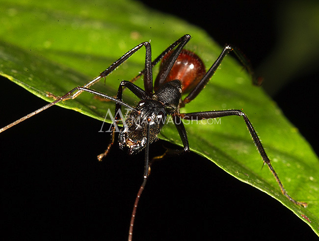An unidentified ant, the size of a Latin American bullet ant, found during a night walk in Borneo.