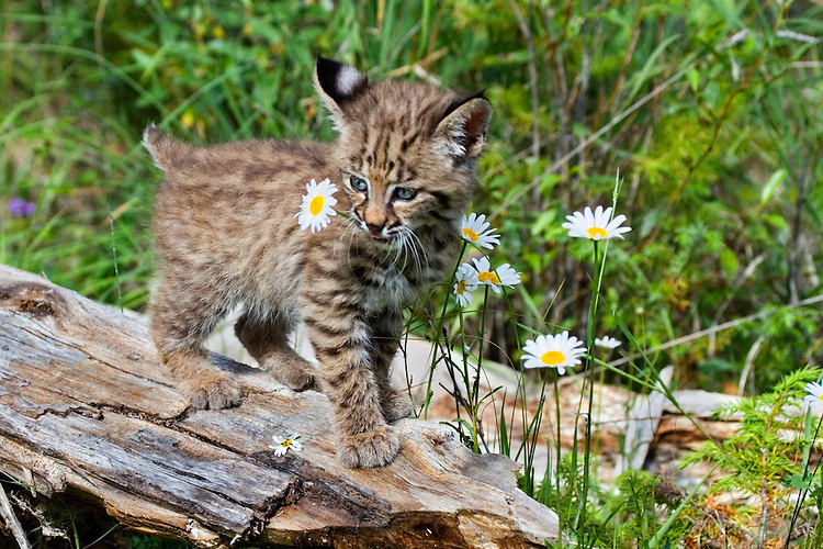 Baby Bobcat holding a daisy in its mouth - CA
