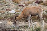 Argali (Ovis ammon) female grazing, Sarychat-Ertash Strict Nature Reserve, Tien Shan Mountains, eastern Kyrgyzstan