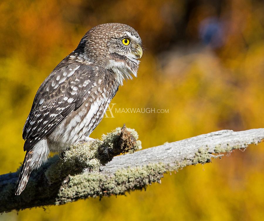 A pygmy owl emits its territorial call.