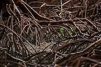 Entre raízes aéreas, enfiado na lama, o pescador artesanal José Benedito captura caranguejos nos manguezais do litoral, na foz do rio Amazonas. Benedito com dois companheiros conseguem capturar cerca de 150 caranguejos por dia, comercializando o crustáceo a U$11 o cesto com 100 unidades.<br /> Bragança - Pará - Brasil <br /> Foto: Paulo Santos <br /> 16/02/2011