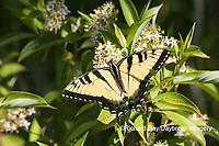 03023-03216 Eastern Tiger Swallowtail (Papilio glaucus) on Swamp Dogwood (Cornus racemosa) Reynolds Co. MO