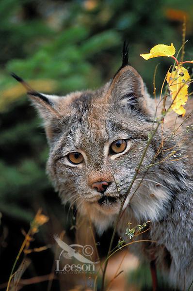 LYNX. Autumn. Rocky Mountains. North America. (Felis lynx canadensis).