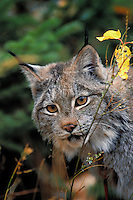 LYNX. Autumn. Rocky Mountains. North America. (Felis lynx canadensis).
