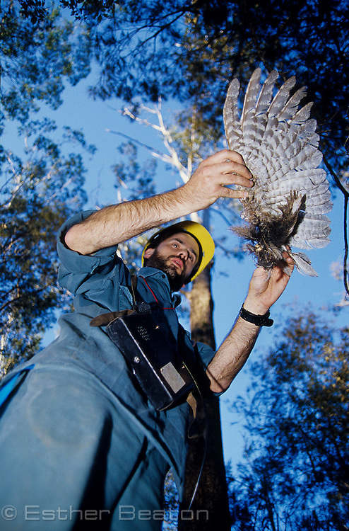 State Forests researcher with spread wing of Tawny Frogmouth found below Masked Owl's roost. Whiporee, northern NSW