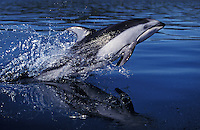 kz3123. Pacific White-sided Dolphin (Lagenorhynchus obliquidens) leaping. British Columbia, Canada, Pacific Ocean..Photo Copyright © Brandon Cole.  All rights reserved worldwide.  www.brandoncole.com..This photo is NOT free. It is NOT in the public domain...Rights to reproduction of photograph granted only upon payment of invoice in full.  Any use whatsoever prior to such payment will be considered an infringement of copyright...Brandon Cole.Marine Photography.http://www.brandoncole.com.email: brandoncole@msn.com.4917 N. Boeing Rd..Spokane Valley, WA 99206   USA..tel: 509-535-3489