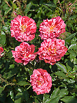 Secret Recipe moss Rose, Rosa hybrid