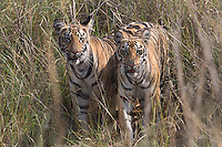 Tigers in Tadoba Andhari Tiger Reserve, Maharashtra, India