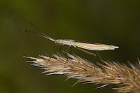 Grasgespenst, Grasgespenst-Wanze, Chorosoma schillingi, Chorosoma schillingii, Meadow Bug