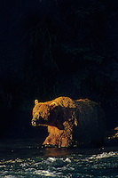 Grizzly bear (Ursus arctos) in late evening light, Alaska.