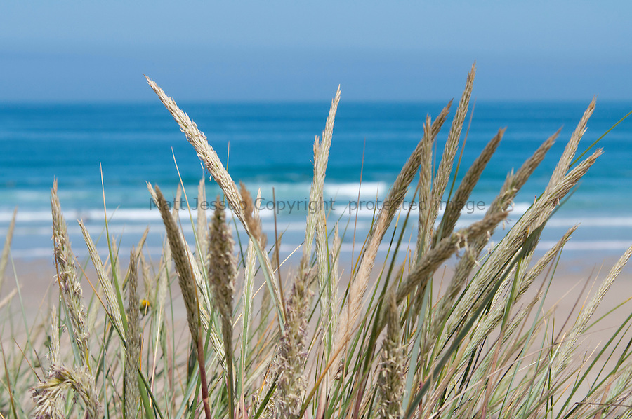Perranporth dune grass