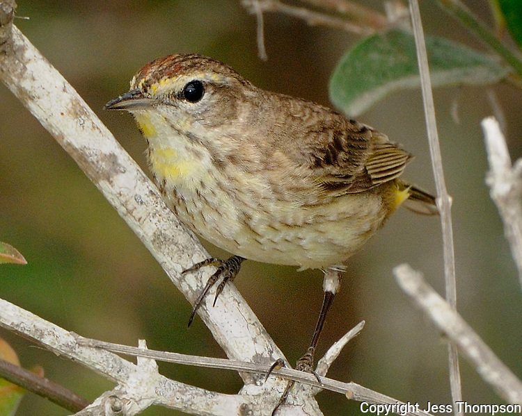 Palm Warbler, South Padre Island, Texas