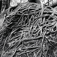 """Exposed Tree Roots - from 4""""x5"""" negative"""