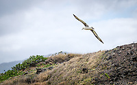 This albatross was soaring over his nest grounds on Kaena Point, on Oahu's North Shore.
