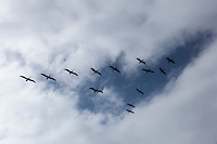 A squadron of Brown pelicans, flying in formation that fits nicely into a break in the morning clouds.  Pigeon Point Lighthouse, California.