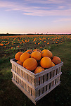 Harvested pumpkins in a field, Dresden, Maine, USA