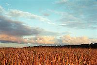 Dead Corn Stalks at Sunrise