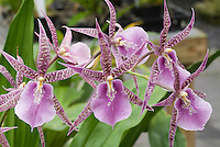 36983 Taxonomists have changed the genus name of Miltassia to Bratonia.