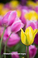 63821-22719 Pink, yellow, and purple tulips, Chicago Botanic Garden, Glencoe, IL