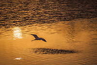A Great egret floats above a glowing San Francisco Bay at sunset.