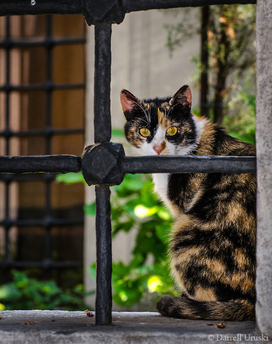 Travel Photography. <br /> This Calico cat was photographed peering out from the iron window bars within the courtyard of the Blue Mosque in Istanbul, Turkey.  <br /> Istanbul is filled with cats that roam freely thorough-ought the city.