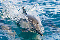 Long-beaked common dolphin,Delphinus capensis,surfacing,Chanel islands,california,usa,pacific ocean