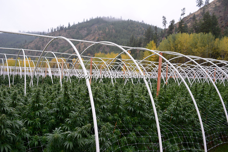 Antoine Creek Farms, based in Chelan, is among Washington state's largest growers of recreational marijuana, with about 1,000 plants on the sprawling site at the base of a valley. Photo by Daniel Berman/www.bermanphotos.com