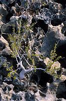 Iles Bahamas /Ile d'Andros/South Andros: détail de la végétation de la mangrove