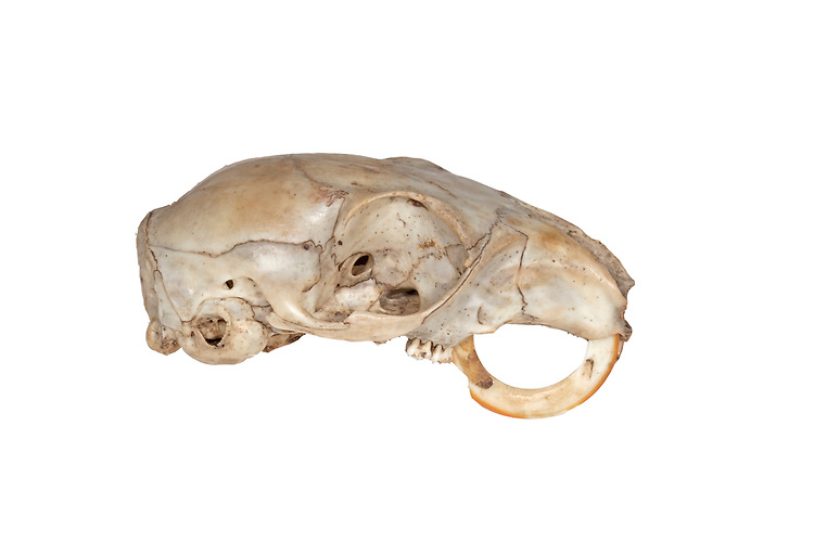Grey Squirrel - Sciurus carolinensis - Skull showing deformity in incisors. Length 45-55cm Abundant rodent. Introduced to Britain, now the most familiar squirrel. Diet is omnivorous and renowned for its cunning in exploiting food sources. Adult has plump but elongated body and long bushy tail. Rounded ears lack ear tufts. Coat is mainly grizzled grey with whitish chest and belly. Some individuals are variably tinged with brown in summer. Utters teeth-smacking 'tchack' when alarmed. Native to North America, introduced here in 1876. Now widespread and common, its adaptability allowing it to thrive in woods, parks and gardens.