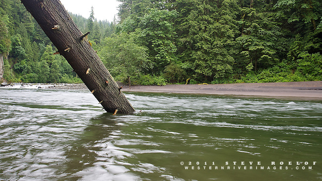 A large Douglas-fir log in the Sandy River.