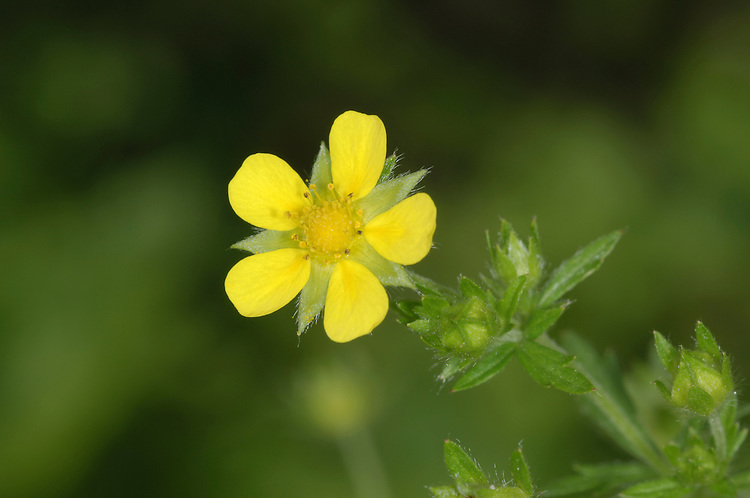 Ternate-leaved Cinquefoil Potentilla norvegica Height to 60cm. Spreading annual or perennial. Grows on disturbed ground and grassy places. Flowers are 6-8mm across with 5 yellow petals, and marginally shorter, pointed sepals. Leaves comprise 3 leaflets. Status-Local throughout lowland Britain but commonest in central-southern England.